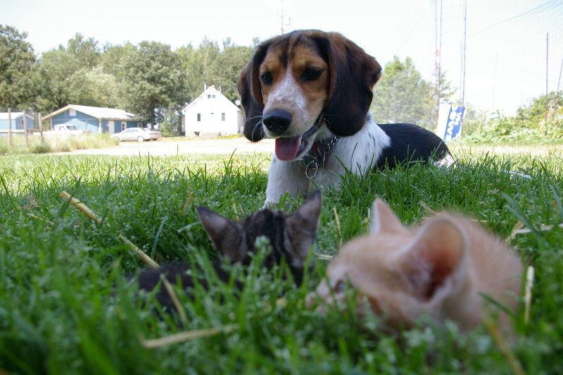 Beagle joue avec un chat