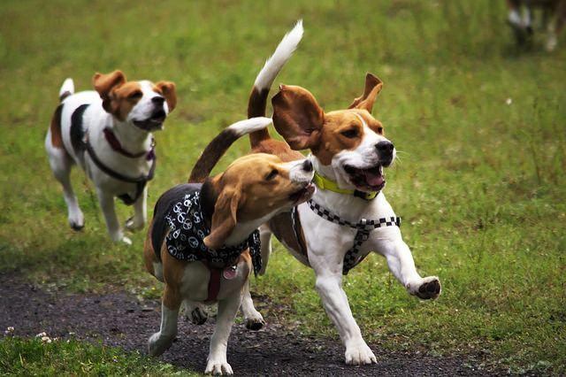 Elevage de Beagle