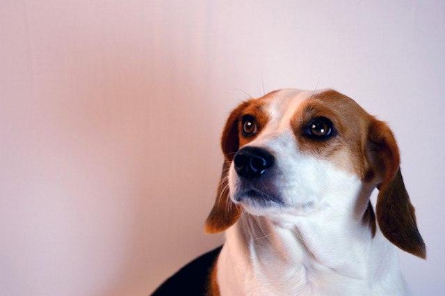 Le beagle en chien en bonne santé