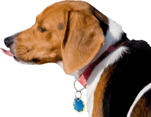 beagle regardant a gauche