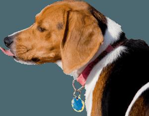 beagle regardant a gauche