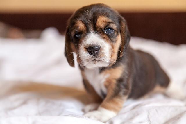 chiot beagle