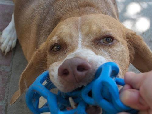 Beagle entrain de jouer