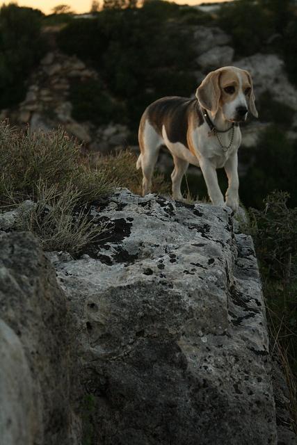 Beagle en promenade